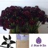 scabiosa-deep-red-24282